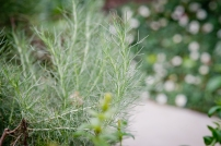 Feathery, silver-green California Sagebrush adds height, texture, and levity to the north side of the front garden. Sagebrush is a great plant to use when to discourage traffic or create a boundary.