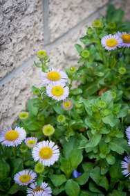 Seaside daisy (Erigeron glaucus) line the wall of meters behind the Shotgun House.