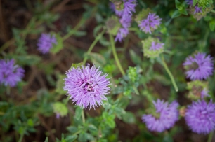 The purple pom-pom blooms of Coyote Mint are always a hit with kids!