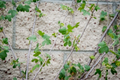 Golden Currant climbs the cinderblock wall separating the parking lot of the Shotgun House from its residential neighbor to the north.