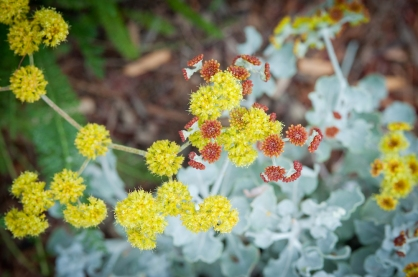 Sulphur Buckwheat's silver foliage provides contrast and charm to the southeast corner of the side garden, all the more charming when its pom-pom blooms emerge.