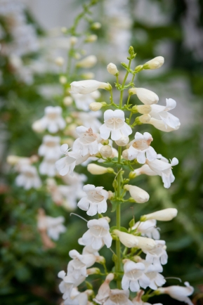 Paz Showy Penstemon decorates the full south-facing side yard in spring.