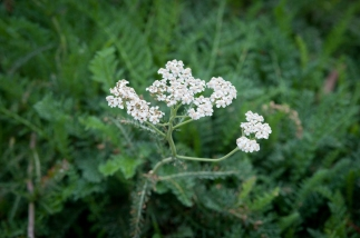 Common Yarrow is kept at meadow height, so its feathery foliage is topped with charming blooms. If mowed, Yarrow provides a brilliantly beach-appropriate lawn alternative.