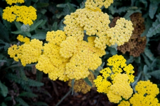 Yellow Yarrow joins its companions, White Yarrow, Zauschnernia and Coyote Mint in the front garden. (Note: This yarrow is not native.)
